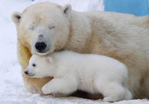 عکس/ مهر مادری خرس قطبی