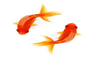 چگونه ماهی قرمز را بیشتر نگه داریم