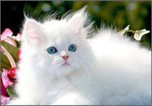 آیا گربهها لهجه دارند؟