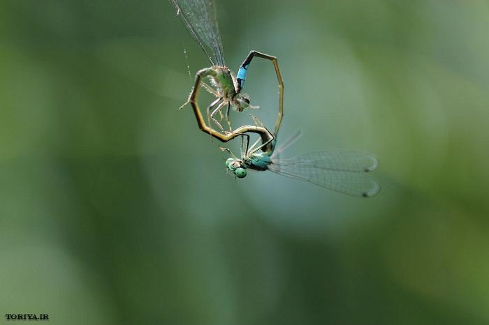عکس زیبا از سنجاقکهای عاشق