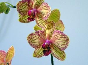 Orchid_phalaenopsis_321