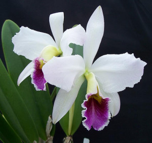 Orchid_Cattleyas_139 (1)