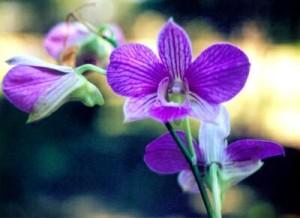 Orchid_dendrobium_989