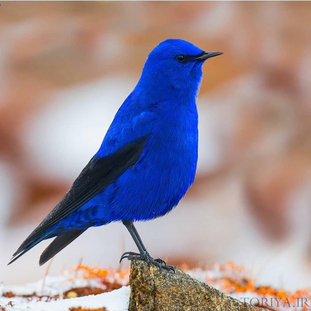 عکسهایی از پرنده گراندالای آبی